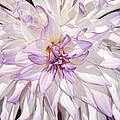 White Purple Dahlia by Thomas J Rhodes