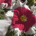 White-red Petunia by Artist Nandika  Dutt