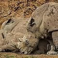 White Rhino 2 by Arterra Picture Library