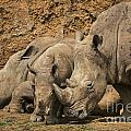 White Rhino 3 by Arterra Picture Library