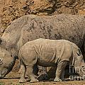 White Rhino 4 by Arterra Picture Library