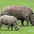 White Rhino 8 by Arterra Picture Library