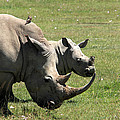 White Rhino Mother And Calf by Aidan Moran