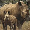 White Rhinoceros And Baby Lewa Kenya by Gerry Ellis