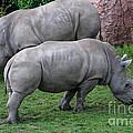White Rhinoceros by Bianca Nadeau