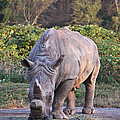 White Rhinoceros  by Eti Reid