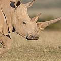 White Rhinoceros Kenya by Tui De Roy