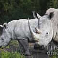 White Rhinos by Timothy Hacker