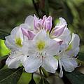 White Rhododendren by David Freuthal