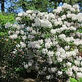 White Rhododendron Blooming In The Garden by Lena Photo Art