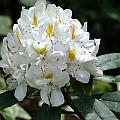 White Rhododendron by Chris Day
