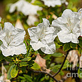 White Rhododendron Flowers In Bloom. by Jamie Pham