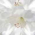 White Rhododendron Flowers by Jennie Marie Schell