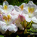 White Rhododendron In Sunlight by Carol Groenen