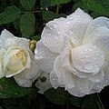 White Rose And Raindrops by Jo-Ann Hayden