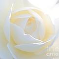 White Rose Energy by Carol Groenen