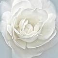 White Rose Flower Silver Blue by Jennie Marie Schell