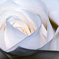 White Rose by Jim Shackett