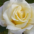 White Rose Named Ray Of Sun by Lingfai Leung