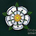 White Rose Of York by Gillian Singleton