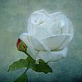 White Rose On Blue by Sandy Keeton