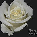 White Rose by Owl's View Studio
