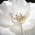 White Rose Petals by Jennie Marie Schell