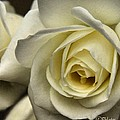 White Rose by Phil Huettner