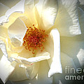 White Rose by Phil Mancuso