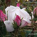 White Rose Pink Buds by Miriam Danar