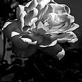 White Rose by Robert Bales