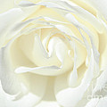 White Rose by Tikvah's Hope