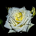 White Rose With Dew by Mihai Piltu