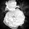 White Rose You Are Heavenly by Sholeh Mesbah