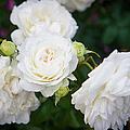 White Roses by Brian Jannsen