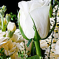 White Roses Close Up by Simon Bratt Photography LRPS