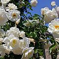 White Roses by Denise Mazzocco