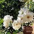 White Roses H A by Gert J Rheeders