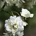 White Roses by Joy Watson