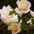 White Roses by Zina Stromberg