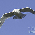 White Seagull In Flight by Mae Wertz