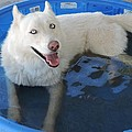 White Siberian Husky In Pool by Enaid Silverwolf