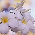 White Snow Frangipani Flowers by Jenny Rainbow