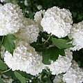 White Snowball Bush by Christiane Schulze Art And Photography