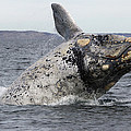 White Southern Right Whale Breaching by Hiroya  Minakuchi