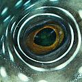 White-spotted Pufferfish Eye by Spl