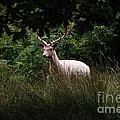 White Stag by Tom Conway