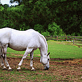 White Stallion by Paulette B Wright