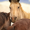 White Stallion Wild Horses On Navajo Indian Reservation  by Jerry Cowart