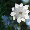 White Star by Georgia Mizuleva
